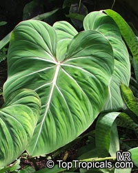 Philodendron gloriosum, Glorious Jungle Philodendron   Click to see full-size image
