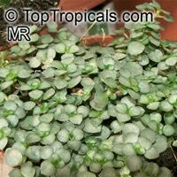Pilea glaucophylla, Silver Sprinkles