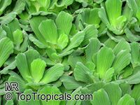 Pistia stratiotes, Water Bonnets, Water Lettuce, St. Lucy's Plant  Click to see full-size image