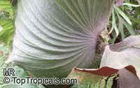 Platycerium wandae, Queen Elkhorn Fern  Click to see full-size image