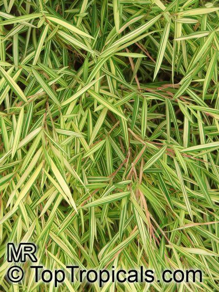 pogonatherum paniceum  miniature bamboo  baby panda bamboo