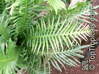 Polypodium sp., Polypody  Click to see full-size image