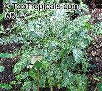 Polyscias guilfoylei, Polyscias guilfoylei var. laciniata , Guilfoyle Polyscias, Geranium Leaf Aralia, Wild Coffee, Black Aralia  Click to see full-size image