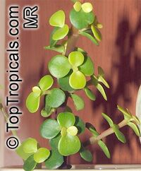 Portulacaria afra, Elephant's Food, Elephant Bush, Baby Jade, Crassula Portulacaria  Click to see full-size image