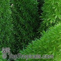 Asparagus densiflorus, Protasparagus densiflorus, Emerald Asparagus Fern, Fox Tail  Click to see full-size image