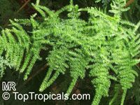 Asparagus plumosus, Protasparagus plumosus, Asparagus Fern  Click to see full-size image