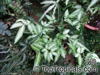 Pteris nipponica, Japanese Pteris  Click to see full-size image