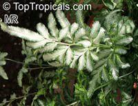 Pteris ensiformis , Silver Lace Fern, Slender Brake Fern   Click to see full-size image