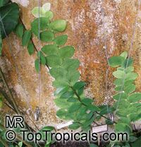 Rhaphidophora celatocaulis, Pothos celatocaulis , Shingle Plant 