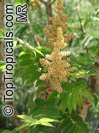 Rhus glabra, Smooth Sumac  Click to see full-size image