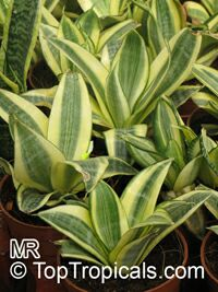Sansevieria trifasciata, Birds Nest Sanseviera, Mother in Law Tong  Click to see full-size image