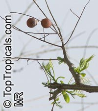 Sapindus saponaria, Soapberry  Click to see full-size image