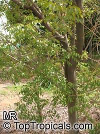 Swietenia mahagoni, West Indian Mahogany  Click to see full-size image