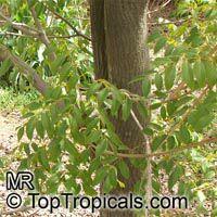 Swietenia mahagoni - West Indian Mahogany  Click to see full-size image
