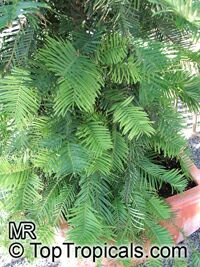 Wollemia nobilis, Wollemi Pine  Click to see full-size image