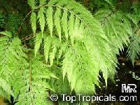 Woodwardia orientalis, Oriental Chain FernClick to see full-size image