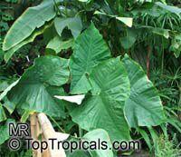 Xanthosoma sp., Xanthosoma  Click to see full-size image