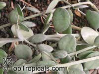 Xerosicyos danguyi, Silver Dollar Plant  Click to see full-size image