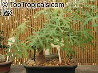 Cissus tuberosa, Caudex-forming Cissus  Click to see full-size image