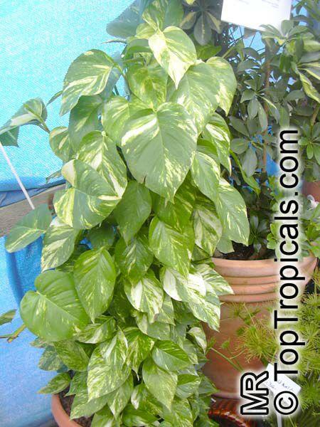 Epipremnum pinnatum rhaphidophora pinnata epipremnum aureum scindapsus aureus pothos aureus - Hardy office plants ...
