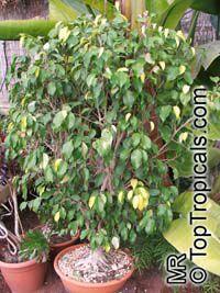 Ficus benjamina, Benjamin Fig, Benjamin TreeClick to see full-size image