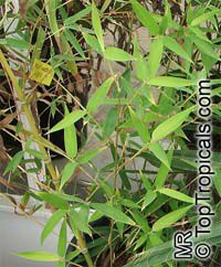 Phyllostachys aurea, Golden Bamboo  Click to see full-size image