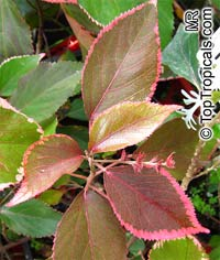 Acalypha godseffiana, Copper Leaf, Beefsteak Plant, Fire dragon, Jacobs coat, Match-me-if-you-can, Three-seeded Mercury