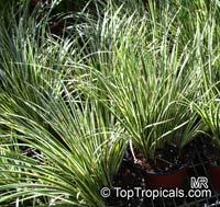 Acorus gramineus variegatus, Sweet FlagClick to see full-size image