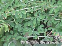 Adenia fruticosa, Adenia  Click to see full-size image