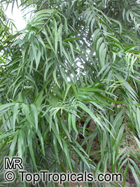 Afrocarpus mannii, Podocarpus mannii, AfrocarpusClick to see full-size image