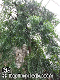 Afrocarpus mannii, Podocarpus mannii, Afrocarpus  Click to see full-size image