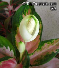 Aglaonema sp., Chinese Evergreen  Click to see full-size image