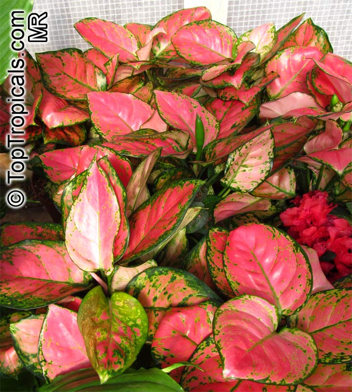 Aglaonema Sp Chinese Evergreen Toptropicals Com