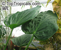 Alocasia cucullata, Lucky Leaf, Heart Shaped Elephant Ear, Buddha's Hand  Click to see full-size image