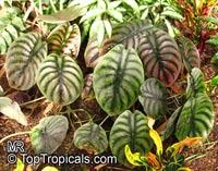 Alocasia sp., Alocasia, TaroClick to see full-size image
