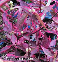 Alternanthera dentata - Red Thread Burgundy