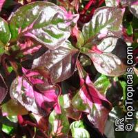 Alternanthera ficoidea, Calico Plant, Joseph's Coat, JoyweedClick to see full-size image