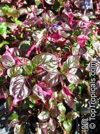 Alternanthera ficoidea, Calico Plant, Joseph's Coat, Joyweed