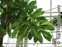 Anacardium exelsum, Wild CashewClick to see full-size image