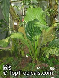 Anthurium guayanum, Anthurium bonplandii subsp. guayanum, AnthuriumClick to see full-size image