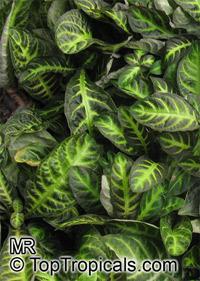 Aphelandra goodspeedii, Aphelandra Click to see full-size image