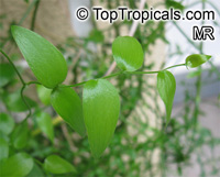 Asparagus asparagoides, Bridal Creeper, African Asparagus Fern  Click to see full-size image