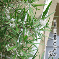 Asparagus falcatus, Sicklethorn  Click to see full-size image