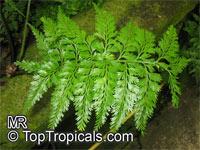 Asplenium dimorphum, Lace Fern, Norfolk Island Spleenwort  Click to see full-size image