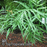 Asplenium flaccidum, Drooping Spleenwort, Weeping Spleenwort  Click to see full-size image