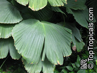 Asplundia sp., Asplundia  Click to see full-size image
