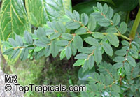 Begonia foliosa, Begonia fuchsioides, Shrub Begonia Click to see full-size image