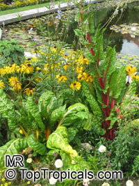 Beta vulgaris var. cicla, Chard, Bright Lights