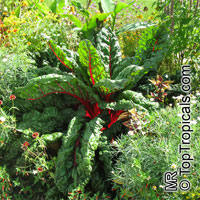 Beta vulgaris var. cicla, Chard, Bright Lights  Click to see full-size image