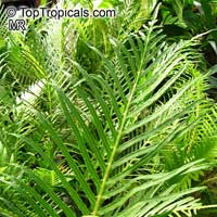 Blechnum gibbum, Dwarf Tree Fern, Silver Lady Fern   Click to see full-size image